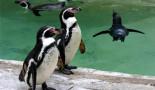 penguin-350
