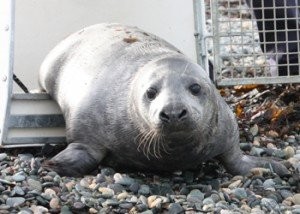 Seal-grey-rescued-from-Anglesey-nuclear-power-station-copyright-RSPCA-350
