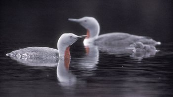 Red throated loon or diver bird