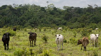 Livestock in the Brazilian Amazon. Image: Thinkstock