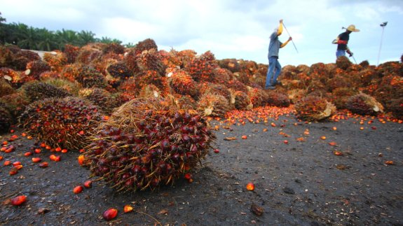 A palm oil plantation being harvested.   Image: Shutterstock