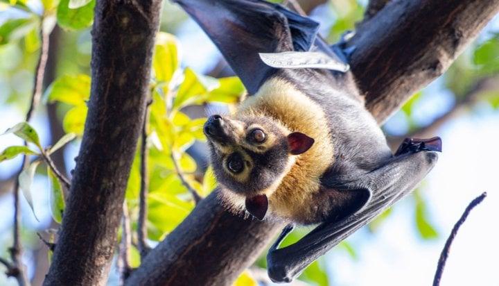 Bespectacled fruit bat