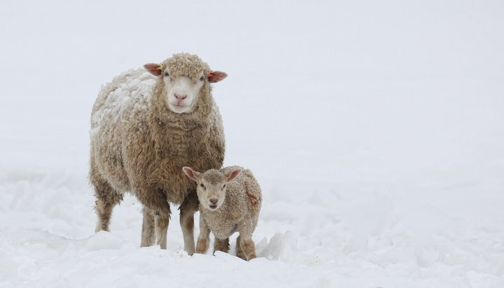 Sheep and lamb in snow