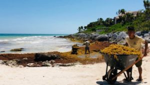 Seaweed plaguing Mexico's beaches 'could provide energy opportunity'