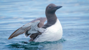 'The Blob' kills one million seabirds… but what is it?