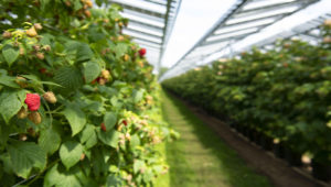 Rasberries can grow under solar panels!