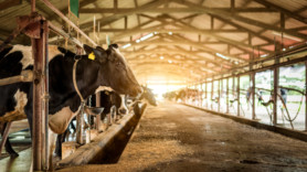 Meat and dairy emissions 'could surpass those from largest oil firms'