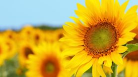 Sunflower-influenced solar panels 'could harvest 400% more energy'